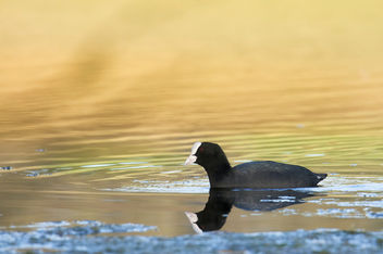 Coot DSC_0815 - Free image #447421