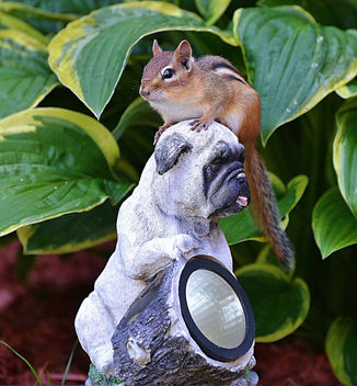 This Chipmunk Knows If You're Going To Move Into Tina's Garden, You've Got To Love Pugs! - Free image #447451