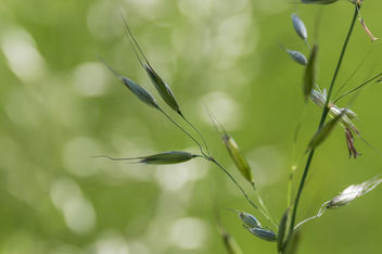 The ear of grass - Kostenloses image #447511