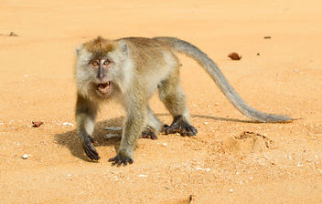 Macaque - Free image #447731