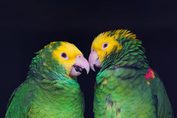 Two colorful parrots in friendly talk, Amazona ochrocephala oratrix, portrait. - image gratuit #447861