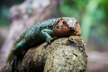 Caiman Lizard, Singapore Zoo - бесплатный image #448091