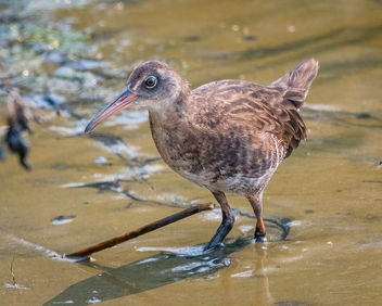 Virginia Rail - Free image #448291