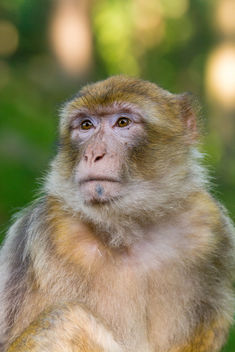 Barbary Macaque - Free image #448701