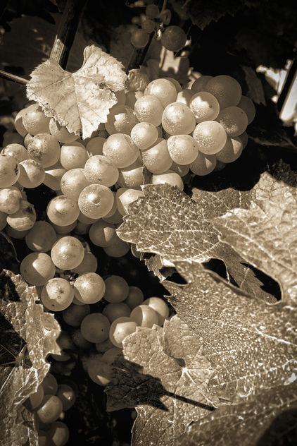 Grapes in Autumn - image #448711 gratis