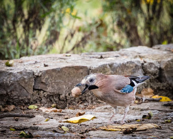 Eurasian Jay with walnut - image gratuit #448861