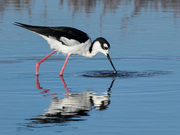 Black-Necked Stilt Reflected - image #448881 gratis