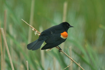 Red-Winged Blackbird - Horicon Marsh - Free image #448951