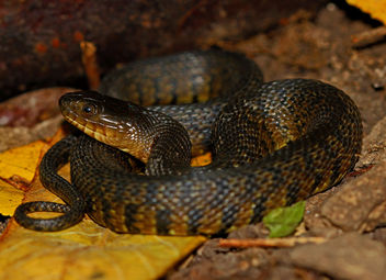Mississippi Green Water Snake (Nerodia cyclopion) - image gratuit #448991
