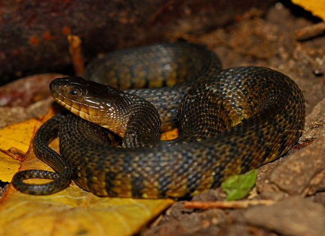 Mississippi Green Water Snake (Nerodia cyclopion) - Kostenloses image #448991