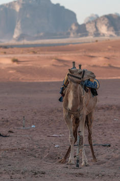 Lonely Camel - Free image #449251
