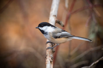 Fall Chickadee - image #449341 gratis