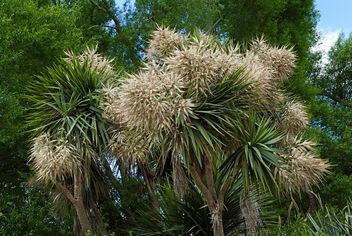 Cordyline australis. (cabbage tree NZ - Kostenloses image #449981