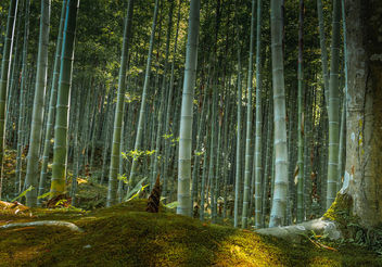 Sagano Bamboo Forest at Arashimaya - бесплатный image #450301