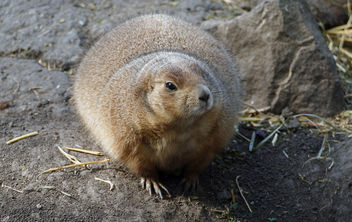 The black-tailed prairie dog (Cynomys ludovicianus) - image gratuit #450461