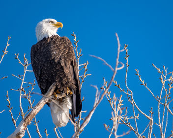 Bald Eagle - image gratuit #451041