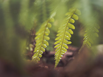 Veiled ferns - Free image #451331