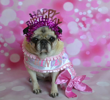 Happy 13th Birthday Bailey Puggins! - Free image #451421