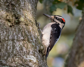 Hairy Woodpecker - Free image #451461