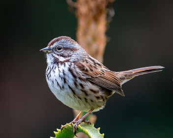 Song Sparrow - image #451521 gratis