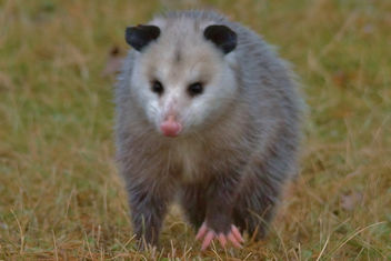 Ugly Little Possum - Free image #451541