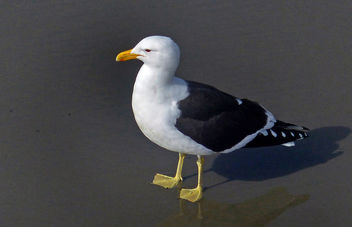 Larus dominicanus,(black-backed gull,) - бесплатный image #452111