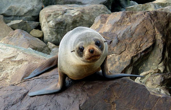 Southern New Zealand fur seal. - Kostenloses image #452121