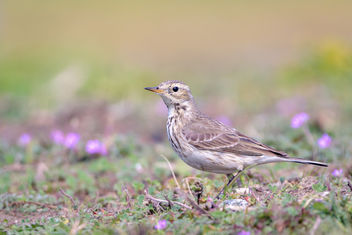 American Pipit - Free image #452211