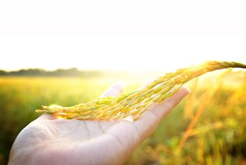 #rice on the palm, goyellow, #sunrise - image #452471 gratis
