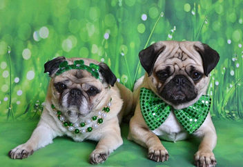 The Puglets Are St. Patrick's Day Ready! - image #452651 gratis
