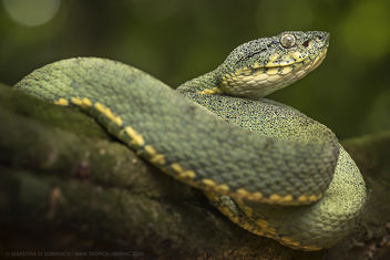 Two lined forest pit-viper (Bothriopis bilineata) - image #452711 gratis