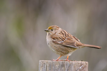 Golden-crowned Sparrow (immature) - Kostenloses image #452751