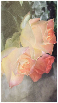 Roses in shades of pink... - image gratuit #452791