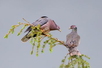 Band-tailed Pigeon Couple - image gratuit #452921