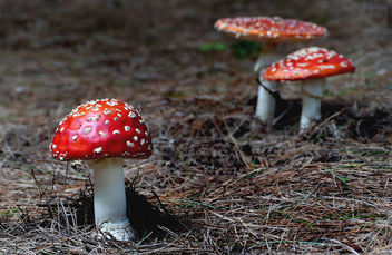 Amanita muscaria, (fly agaric) - Kostenloses image #453211