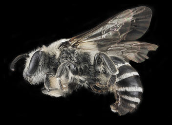 Colletes latitarsis, M, Side, MD, Baltimore_2013-06-23-19.20 - Free image #453321