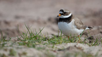 Bontbekplevier / Charadrius hiaticula / Common Ringed Plover - Free image #453421