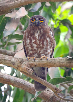 Brown hawk-owl - Free image #453451