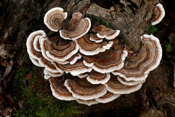 Turkey tail Fungus. - image gratuit #453781