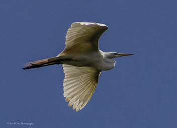 Common Egret - Free image #453951