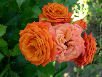 Orange Roses Close-Up - Free image #454051