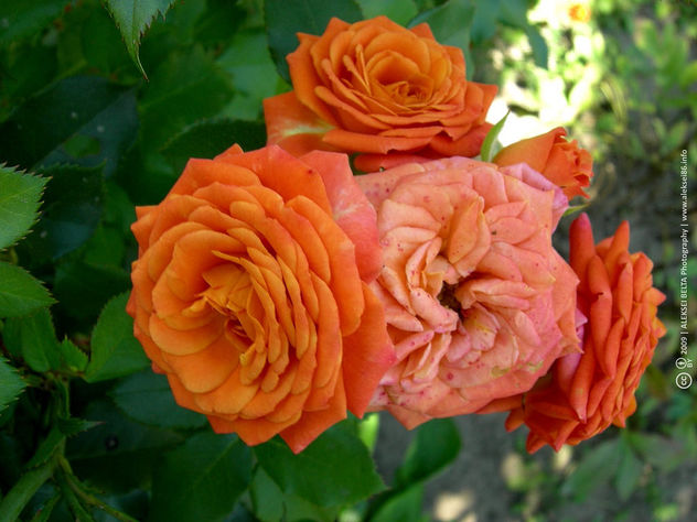 Orange Roses Close-Up - image gratuit #454051