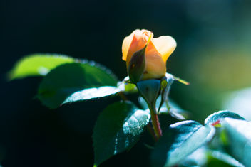 Morning Rose - image gratuit #454101