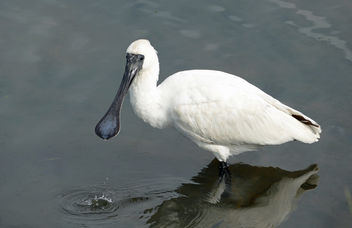 The royal spoonbill (Platalea regia) - image gratuit #454111