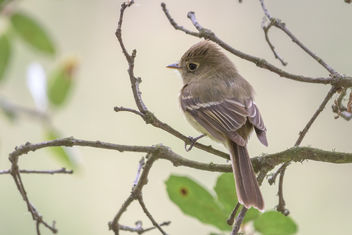Pacific-slope Flycatcher - image gratuit #454291