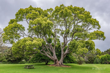 Australian tree in New Zealand - бесплатный image #454411