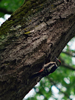 Great Woodpecker (Dendrocopos Major) - image #454501 gratis