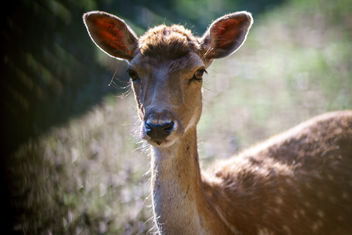 A female deer - image #454551 gratis