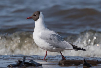 Black-headed gull - image #454921 gratis