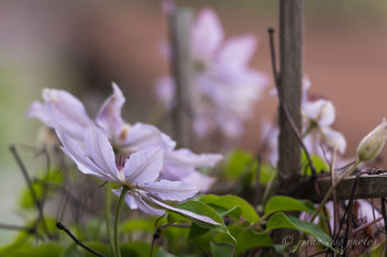 Winding Clematis ~ Huron River and Watershed - image #455011 gratis